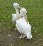 White pelicans, St. James Park, London Royalty Free Stock Photo