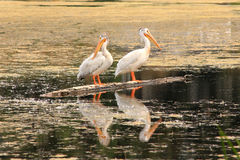 White pelicans standing on a tree trunk in a lake Royalty Free Stock Photos