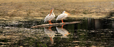 White pelicans standing on a tree trunk in a lake Royalty Free Stock Image