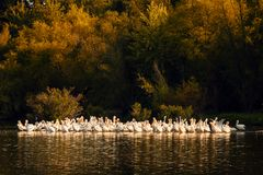 White Pelicans at Sunset in Missouri. White Pelicans on the shoreline of Truman Lake located on the Lake of the Ozarks area of Missouri.  The are cleaning their Stock Photo