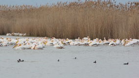 White Pelicans stock footage