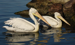 White pelicans swimming on the sea, isolated, closeup. Stock Images