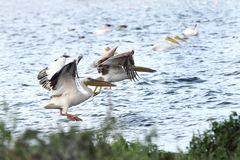 White Pelicans taking flight Royalty Free Stock Photos