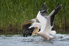 White Pelicans taking off Royalty Free Stock Image