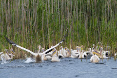 White Pelicans taking off Stock Photography
