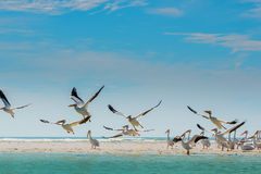 White Pelicans taking off of Florida's Beach Royalty Free Stock Images
