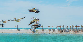 White Pelicans taking off of Florida's Beach Stock Images