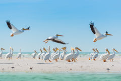 White Pelicans taking off of Florida's Beach Royalty Free Stock Photography