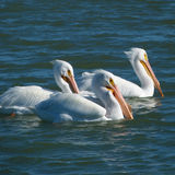 White Pelicans Trio Swimming at Sunset Royalty Free Stock Image