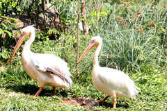White pelicans. Two white pelicans in an indian zoological park stock photography