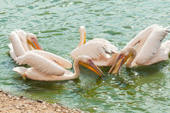 White pelicans wading in a pond Royalty Free Stock Photo