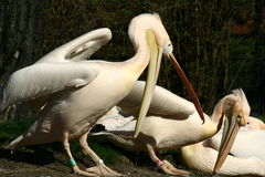 White pelicans Royalty Free Stock Image