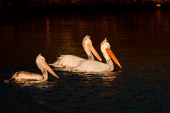 White Pelicans on Water Royalty Free Stock Image