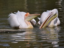 White pelicans on the water Stock Image