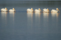 White pelicans in a water Stock Image