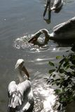 White pelicans in water. Three white pelicans who fish in the water which glitters Stock Photography