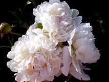 White peonies Royalty Free Stock Images