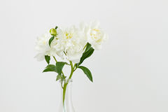 White peonies on white background Stock Images