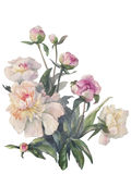 White peonies bunch watercolor  Royalty Free Stock Photos