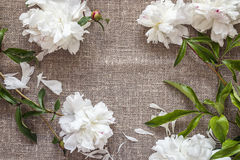 White peonies on burlap with copy space. royalty free stock photography