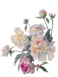White peonies cluster watercolor. Bouquet of white and pink peonies watercolor Royalty Free Stock Image