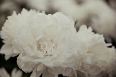 White peonies Royalty Free Stock Image
