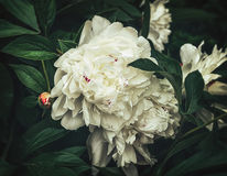 White peonies flowers. Perhaps the best ever peony, huge white double flowers in the family Paeoniaceae Royalty Free Stock Photos