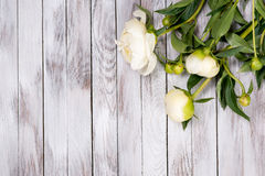 White peonies flowers on white painted wooden planks. Place for text. Square image. Top view. Royalty Free Stock Photo