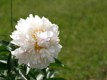 White Peonies Stock Images