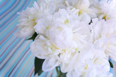White peonies macro on a striped background Stock Photography