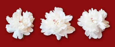 White peonies on red background Stock Photos