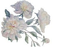 White peonies spray watercolor. Bouquet of white and rose peonies watercolor illustration Royalty Free Stock Images
