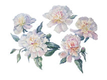 White peonies watercolor isolated. Bouquet of white and rose peonies watercolor illiustration Stock Images