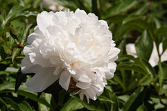 White peony. In the garden stock photos