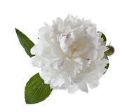 White peony Royalty Free Stock Photo