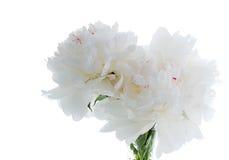 White peony. Isolated on white Stock Photos