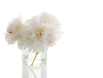White peony Stock Images