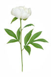 White peony Stock Photo