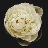 White peony on black Royalty Free Stock Images