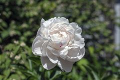 White Peony With a Touch of Red Royalty Free Stock Image