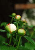 White Peony Buds Royalty Free Stock Image