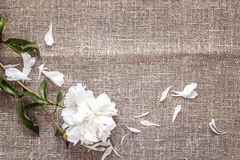 White peony on burlap with copy space. royalty free stock images