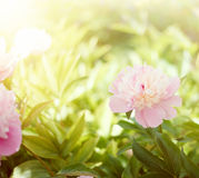 White peony. Royalty Free Stock Photo