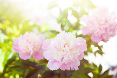 White peony. Stock Images