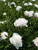 White peony bushes Stock Photo