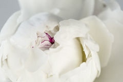 White peony close up. White Peony close-up on a white background royalty free stock photos