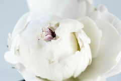 White peony close up. White peony on a white background closeup royalty free stock photo