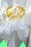 White peony close up Royalty Free Stock Photos