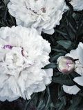 white peony close-up day garden no people outdoors beautiful nature garden village white color flowers Royalty Free Stock Photos