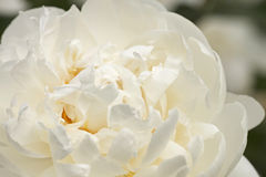 White peony. Close up of white peony flower Royalty Free Stock Photo